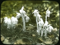 http://forbeslibrary.org/staff/omeka-uploads/indian pipe.png